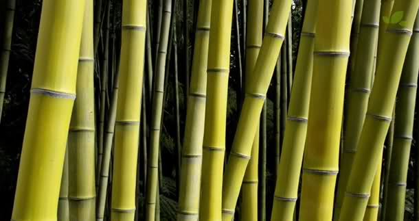 bambu untuk benang